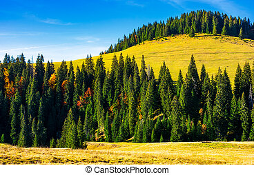 spruce forest around the hill in autumn. beautiful nature...