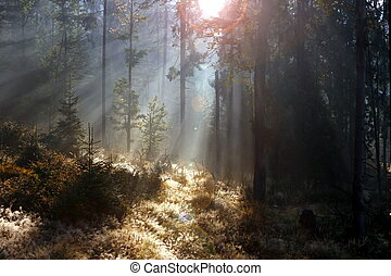 spruce forest at sunrise