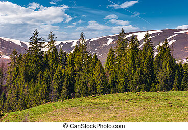 spruce forest at the foot of the mountain with snowy tops....