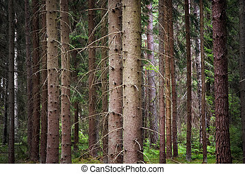 Spruce forest in a wilderness area in Scandinavia