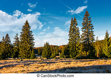 spruce forest in early morning. beautiful nature scenery of...
