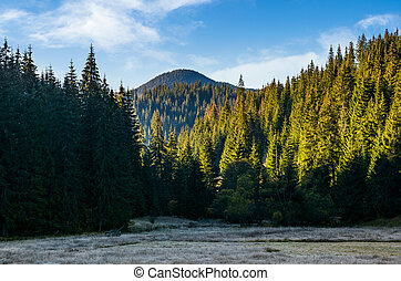 spruce forest in morning light. beautiful nature scenery in...