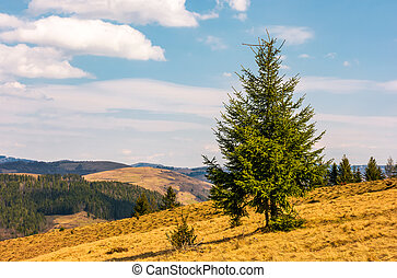 spruce forest in springtime landscape - Spruce forest on...