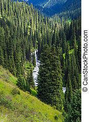 Spruce forest in the mountains