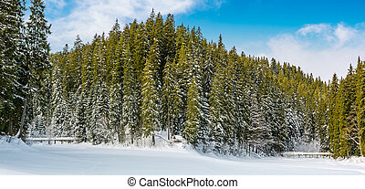 spruce forest in winter. beautiful nature scenery on snow...