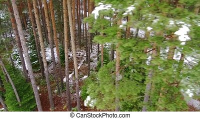 Spruce forest in winter in the mountains