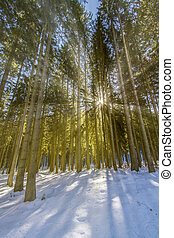 Spruce forest in winter with sun and rays