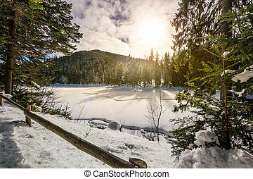 spruce forest on a beautiful sunny winter day. lovely nature...