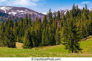 spruce forest on a grassy hill in spring. beautiful nature...