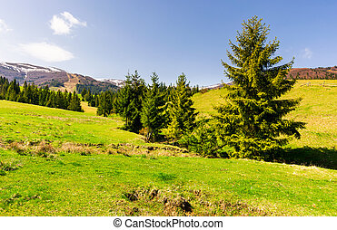 spruce forest on a grassy hillside. lovely springtime...