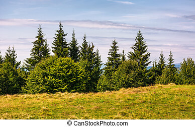 spruce forest on a grassy meadow