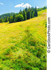 Spruce forest on a grassy slope. lovely summer scenery on a...