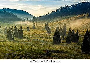 spruce forest on a hill side in fog - spruce forest on...