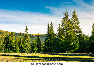 spruce forest on a meadow at sunrise
