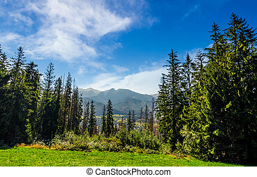 Spruce forest on a meadow in High Tatras mountain ridge....