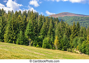 spruce forest on a mountain hill side - late summer mountain...