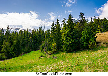 spruce forest on a mountain hill side - spruce forest on a...