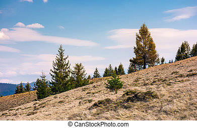 spruce forest on a slope with weathered grass. lovely nature...