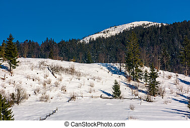 spruce forest on a snow slopes in mountains. lovely nature...