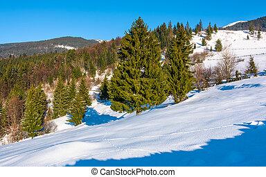 spruce forest on a snowy hillside. beautiful scenery on a...
