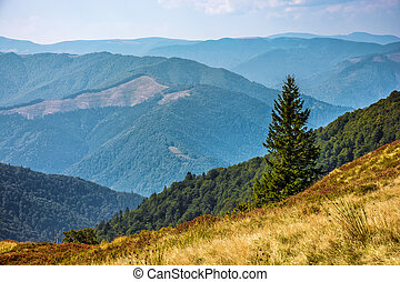 Spruce forest on Carpathian Mountain Range - Spruce forests...