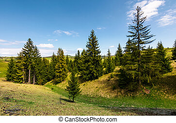 spruce forest on grassy hills. beautiful mountainous...