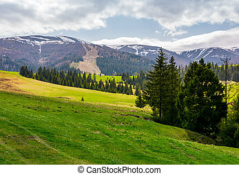 spruce forest on grassy hills in mountains. Borzhava...