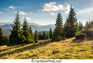 spruce forest on grassy hills in sunset light. gorgeous...