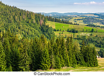 spruce forest on hills in countryside area. lovely summer...