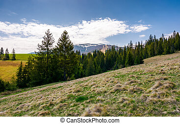 spruce forest on hills with weathered grass. lovely...