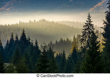 spruce forest on hillside layered in fog - spruce forest on...