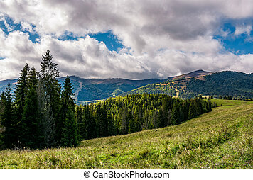 spruce forest on hillside on cloudy day. gorgeous weather in...