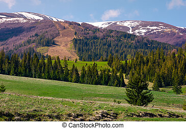 spruce forest on rolling hills. beautiful mountainous...