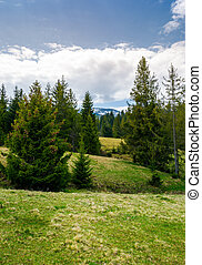 spruce forest on rolling hills. beautiful springtime...