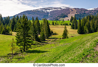 spruce forest on rolling hills in springtime. beautiful...