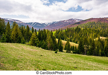 spruce forest on rolling hills in springtime. gorgeous...