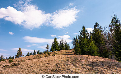 spruce forest on the edge of hillside covered with weathered...