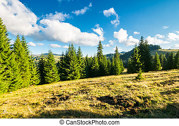 spruce forest on the grassy hill. beautiful landscape in...