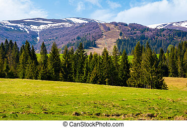 Spruce forest on the grassy hills. beautiful nature scenery...