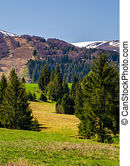 spruce forest on the grassy hills in the valley. beautiful...