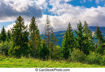 spruce forest on the grassy hillside in mountains