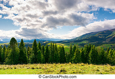 spruce forest on the grassy hillside in mountains. lovely...