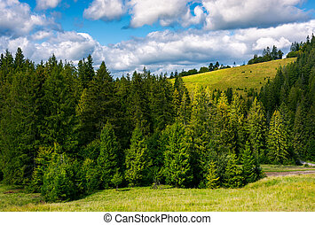 spruce forest on the grassy hillside. lovely landscape with...