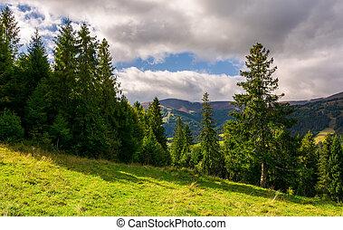 spruce forest on the grassy hillside. lovely mountainous...