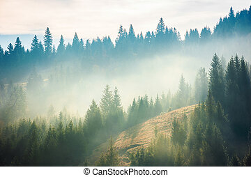 spruce forest on the hill in fog