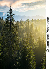 spruce forest on the hill in morning light. lovely nature...