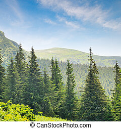 spruce forest on the hillside