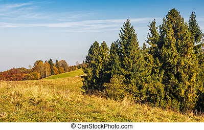 spruce forest on the hillside. sunny autumn day with blue...