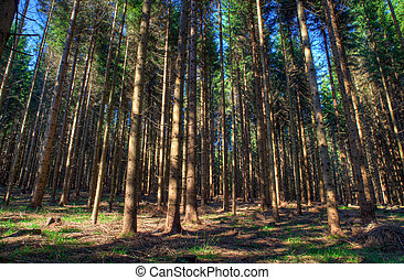 Spruce forest, Slovenia - View of Spruce forest in Kocevski...