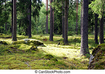 Spruce Forest - Spruce tree forest in sunlight. Photographed...
